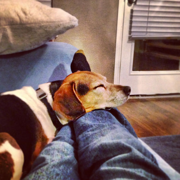 sleeping beagle - photo by fangmarks