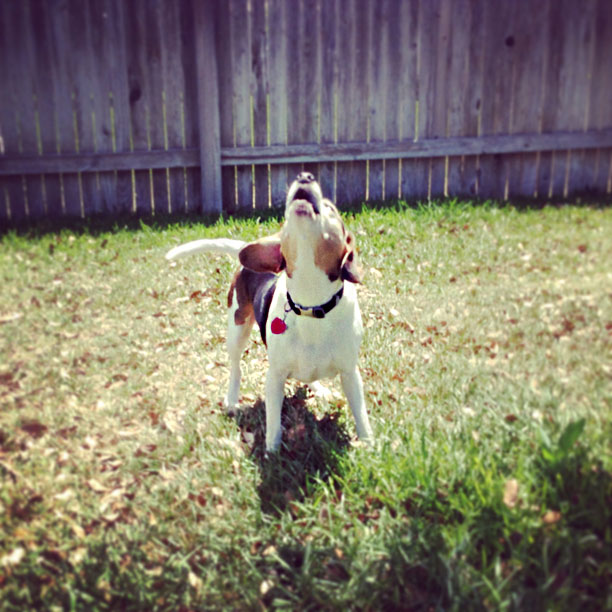 photo of barking beagle by fangmarks