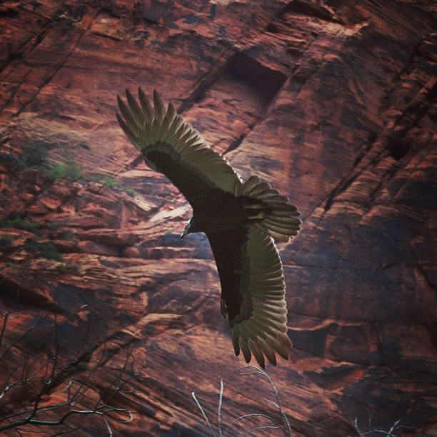 photo of turkey vulture flying