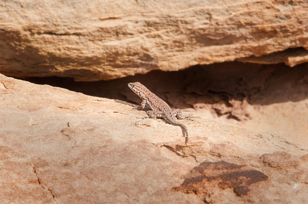 photo of a lizard at the needles