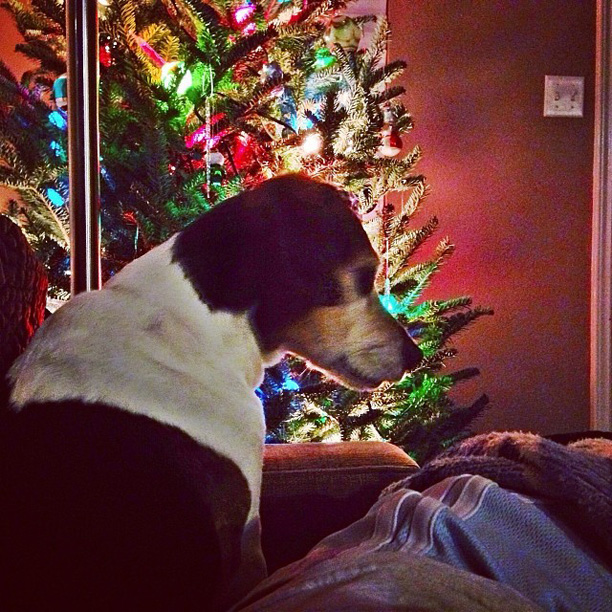 photo of beagle by christmas tree